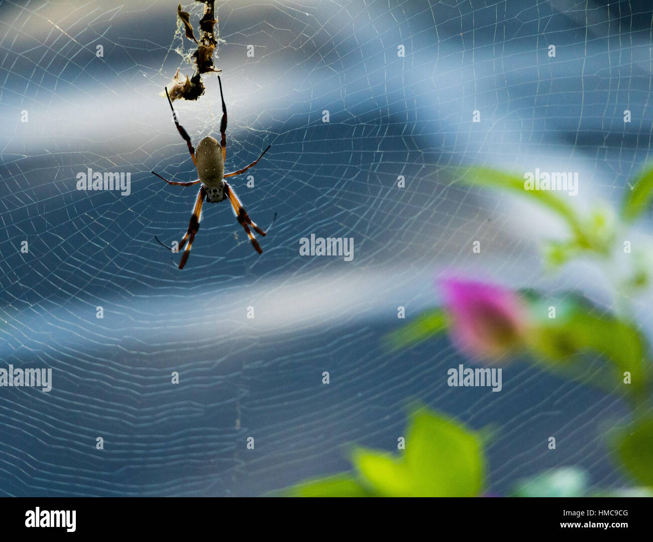 Orb Spider in Web - Stock Image