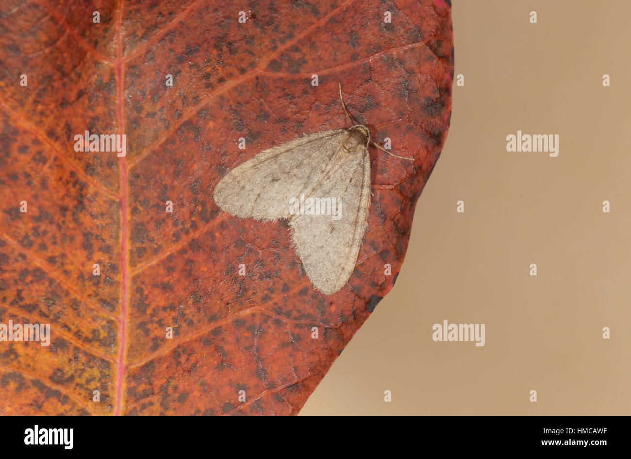 Winter Moth (Operophtera brumata), an autumn-flying insect, male perched on a russet leaf - Stock Image