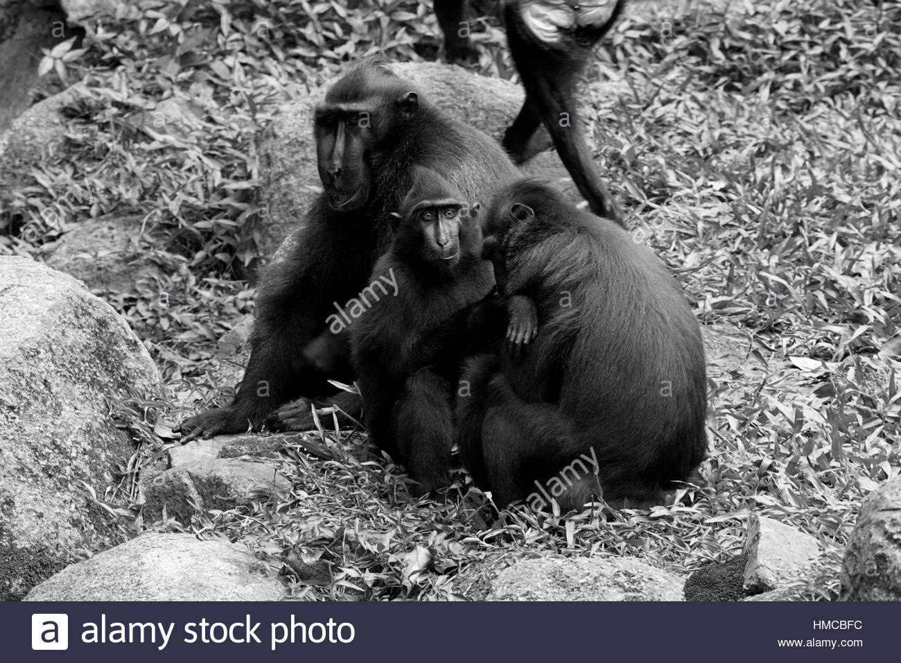 Sulawesi Crested Macaque black white - Stock Image
