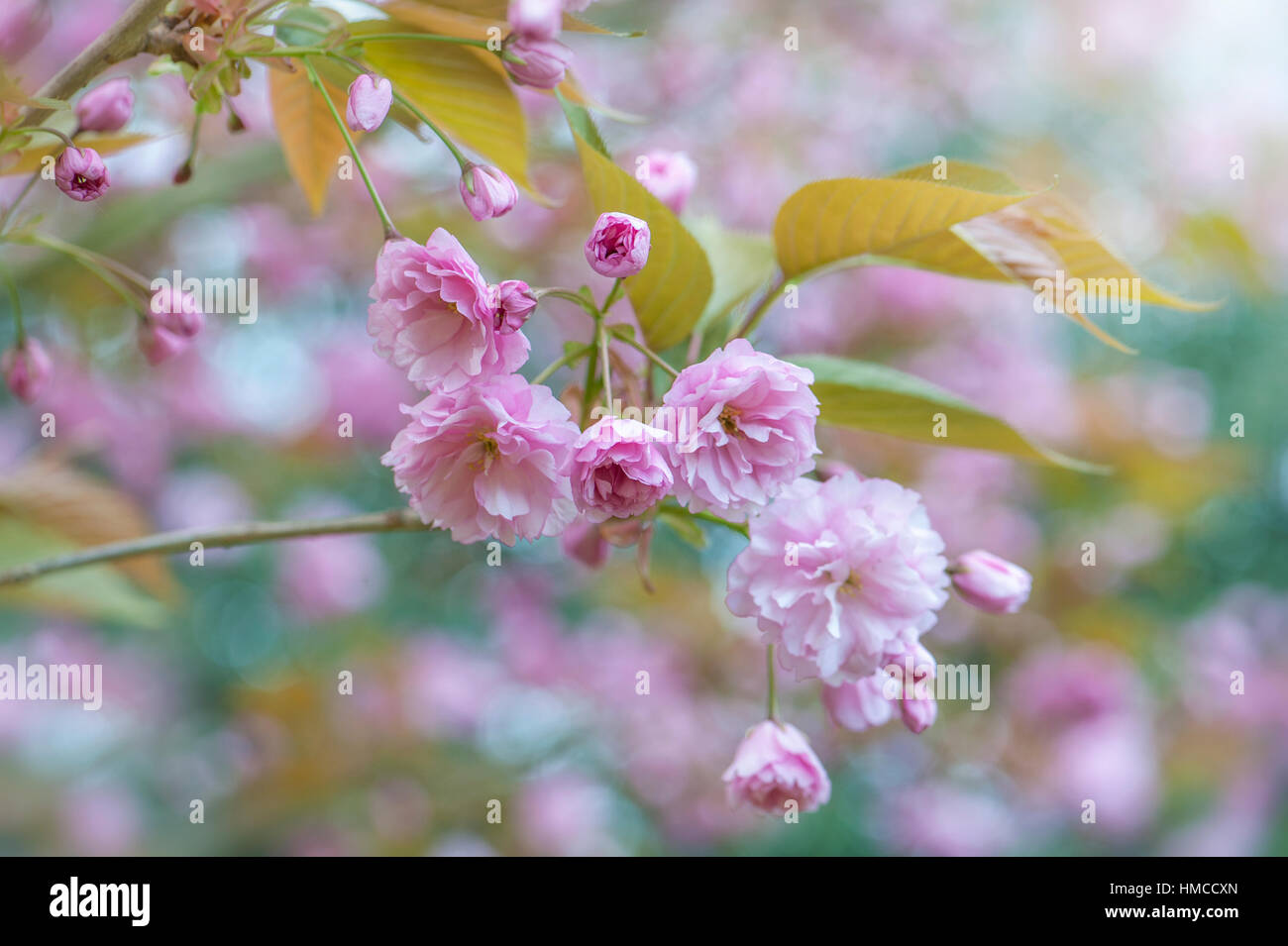 Japanese Flowering Cherry Tree Prunus Kanzan Spring Pink Blossom
