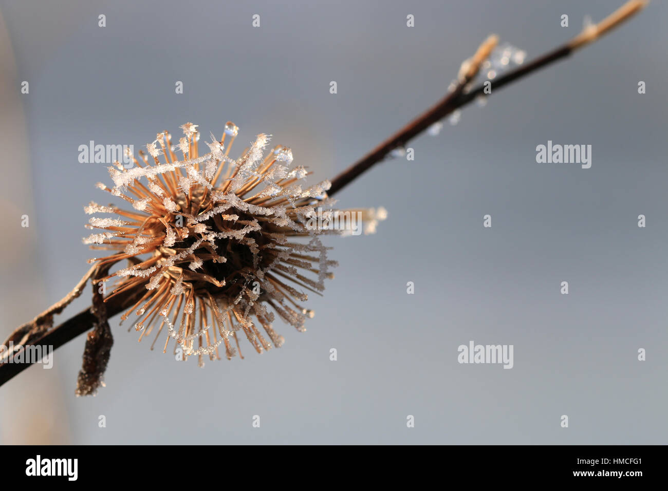 Frosted, prickly burr, seedhead of the burdock plant in wintertime - Stock Image
