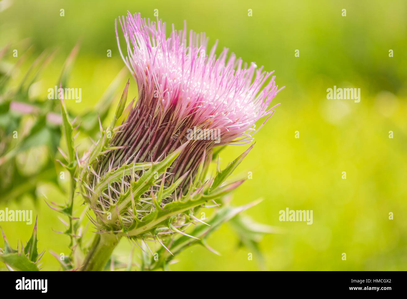A milk thistle weed blooming in springtime. - Stock Image