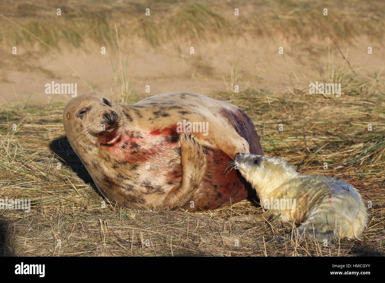 Minutes old seal pup with blood covered grey seal mother at Donna Nook, Lincolnshire, UK Stock Photo