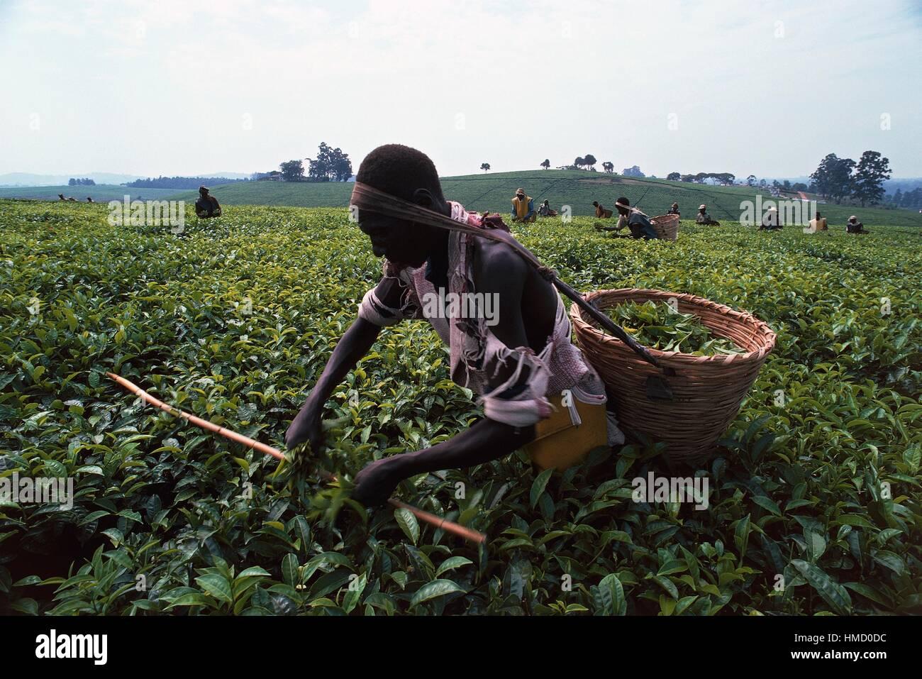 Men collecting tea in baskets tied to their heads on a Kiamara plantation, Uganda. - Stock Image