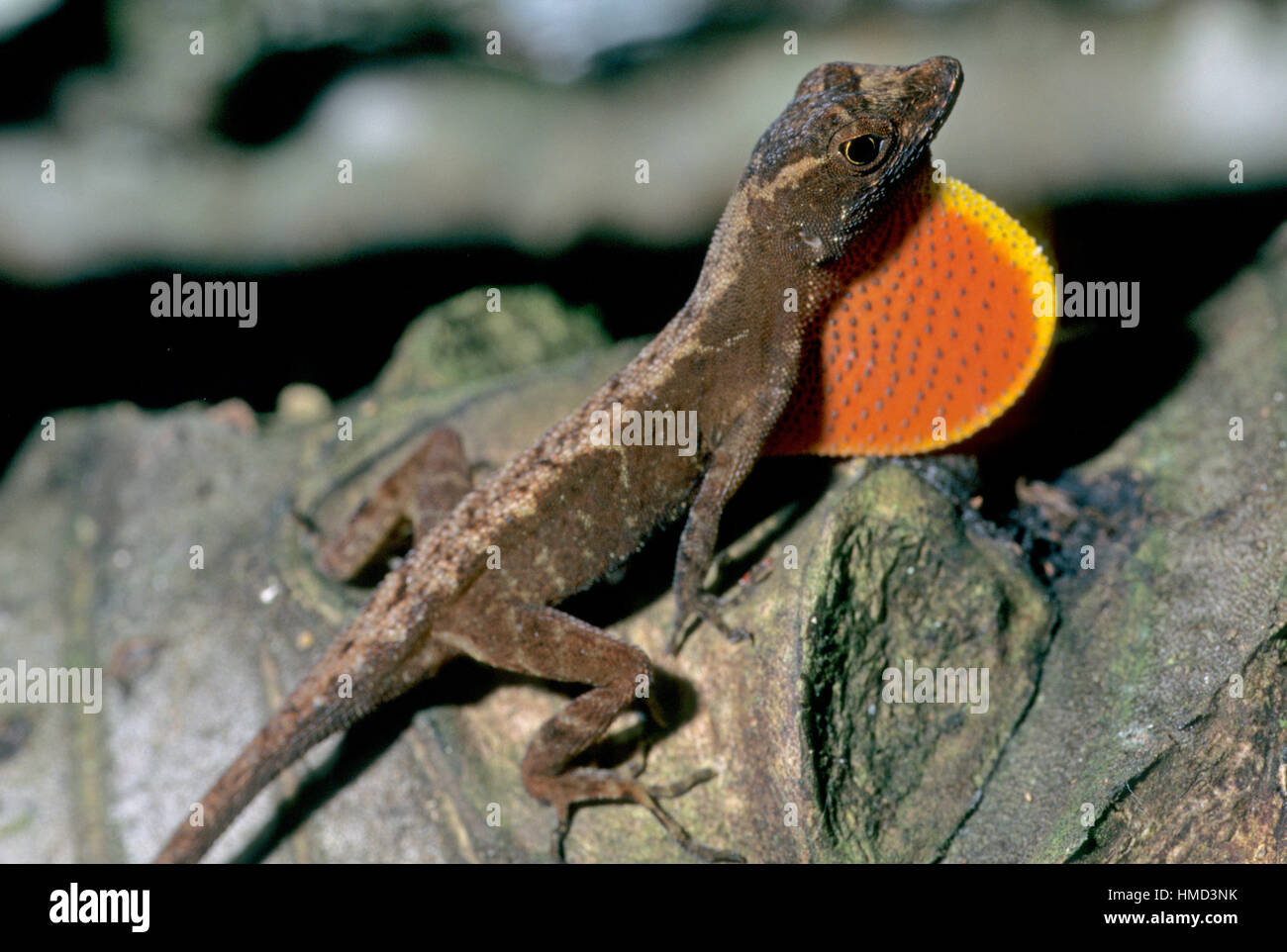 Male Ground anole (Norops humilis) displaying dewlap. Gandoca Manzanillo Wildlife Refuge, Costa Rica - Stock Image