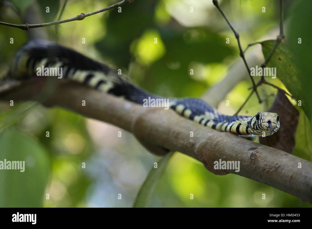 Tiger Rat Snake (Spilotes pullatus) in rainforest tree. Corcovado National Park, Osa Peninsula, Costa Rica. - Stock Image