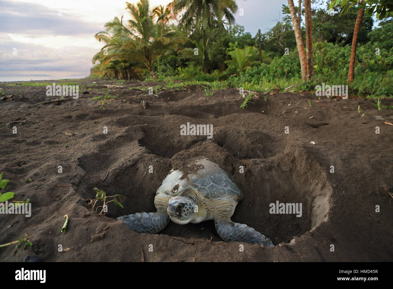 Female green turtle (Chelonia mydas) covering her nest at sunrise in Tortuguero National Park, Costa Rica. - Stock Image