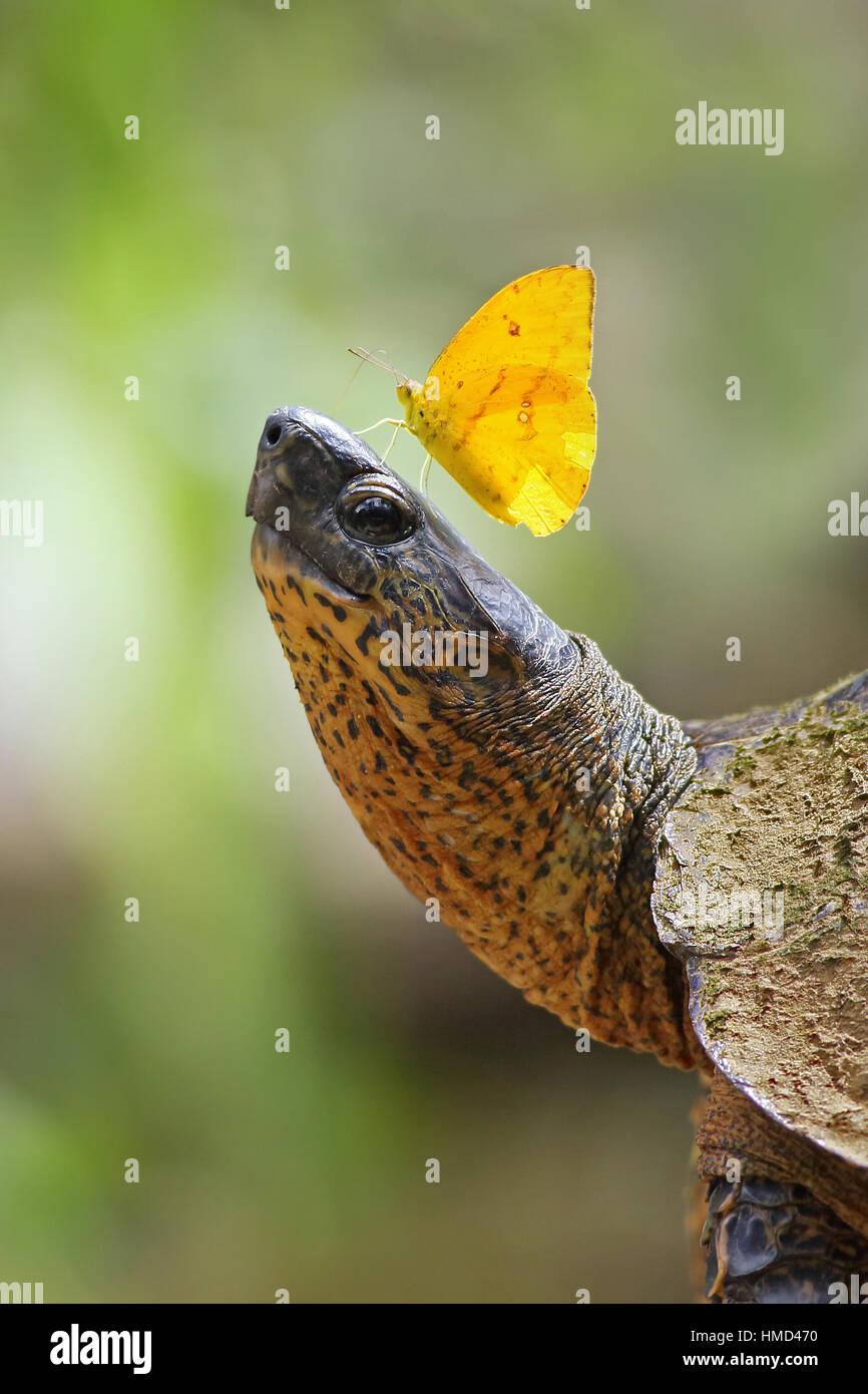 Apricot sulphur butterfly (Phoebis argante) feeding on salt-rich tears of black river turtle (Rhinoclemmys funereal). - Stock Image