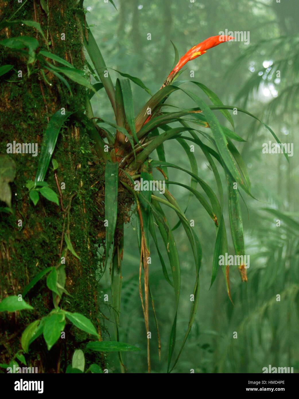 Bromeliad (Guzmania nicaraguensis) in Monteverde Cloud Forest Preserve, Costa Rica - Stock Image