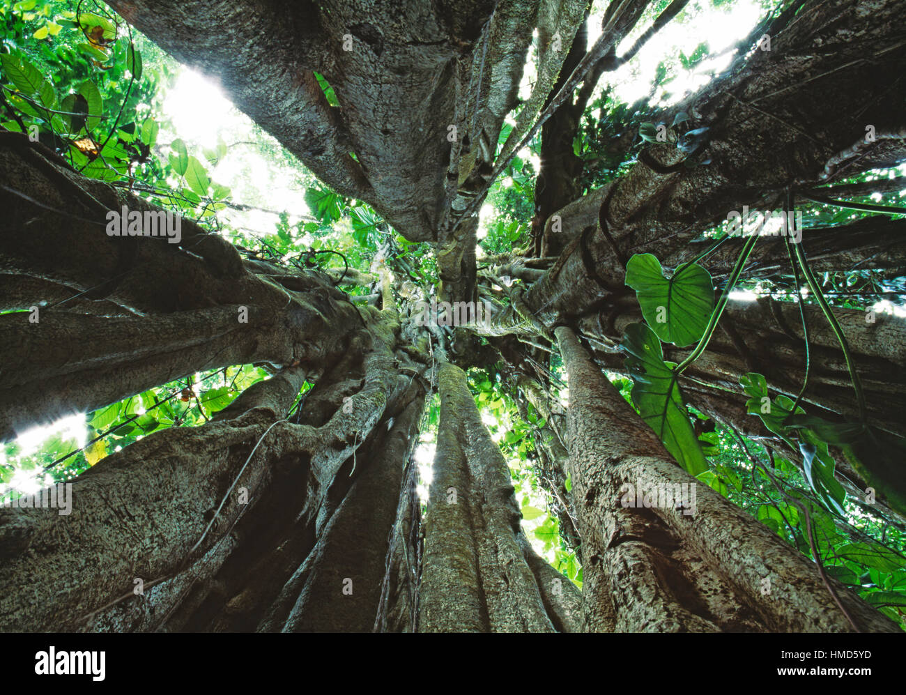 View upwards inside a strangler fig (Ficus sp.) in rainforest in Corcovado National Park, Osa Peninsula, Costa Rica. - Stock Image