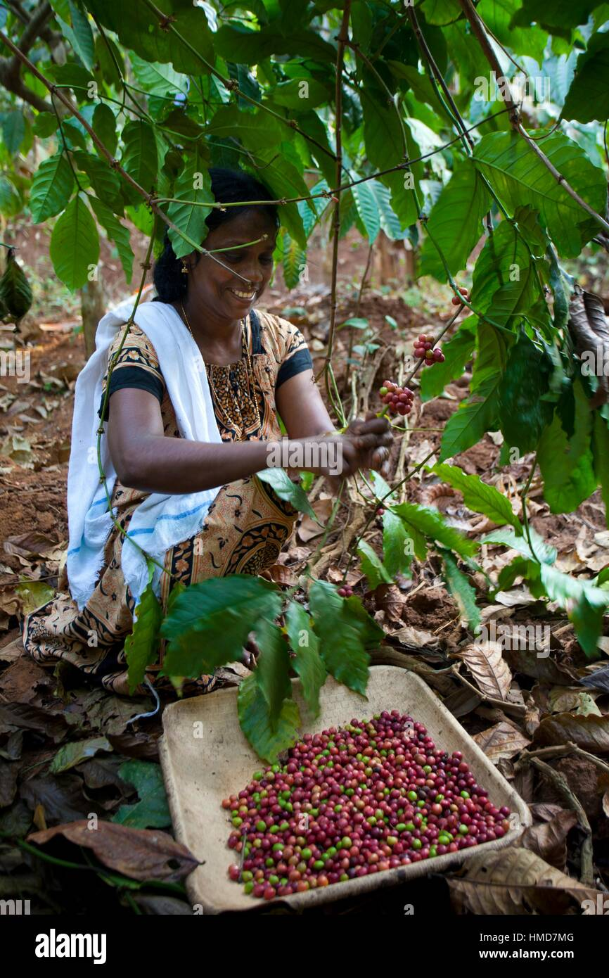 Coffee Plantation India Stock Photos & Coffee Plantation ...