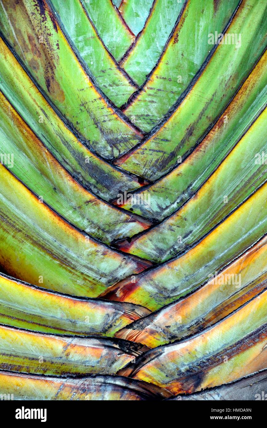 Traveller´s Tree or Traveller´s Palm, Ravenala madagascariensis, Blue Bay, Mauritius, Africa - Stock Image
