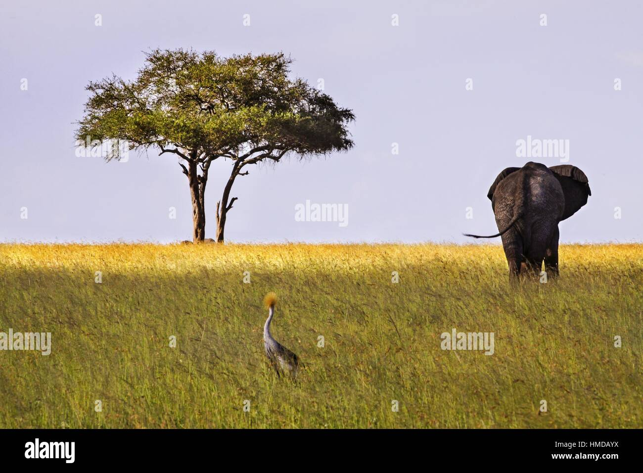 Serengeti National Park Tanzania Landscape with Distant Isolated Acacia Tree and Elephant on the Horizon - Stock Image