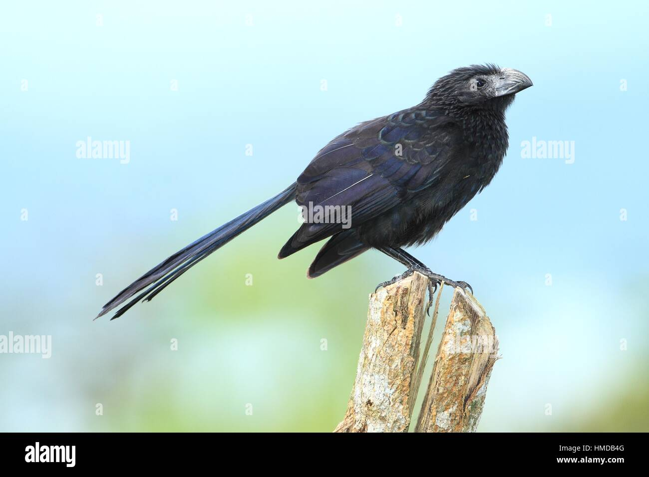 Groove-billed Ani (Crotophaga sulcirostris), Volcán Arenal National Park, Costa Rica. - Stock Image