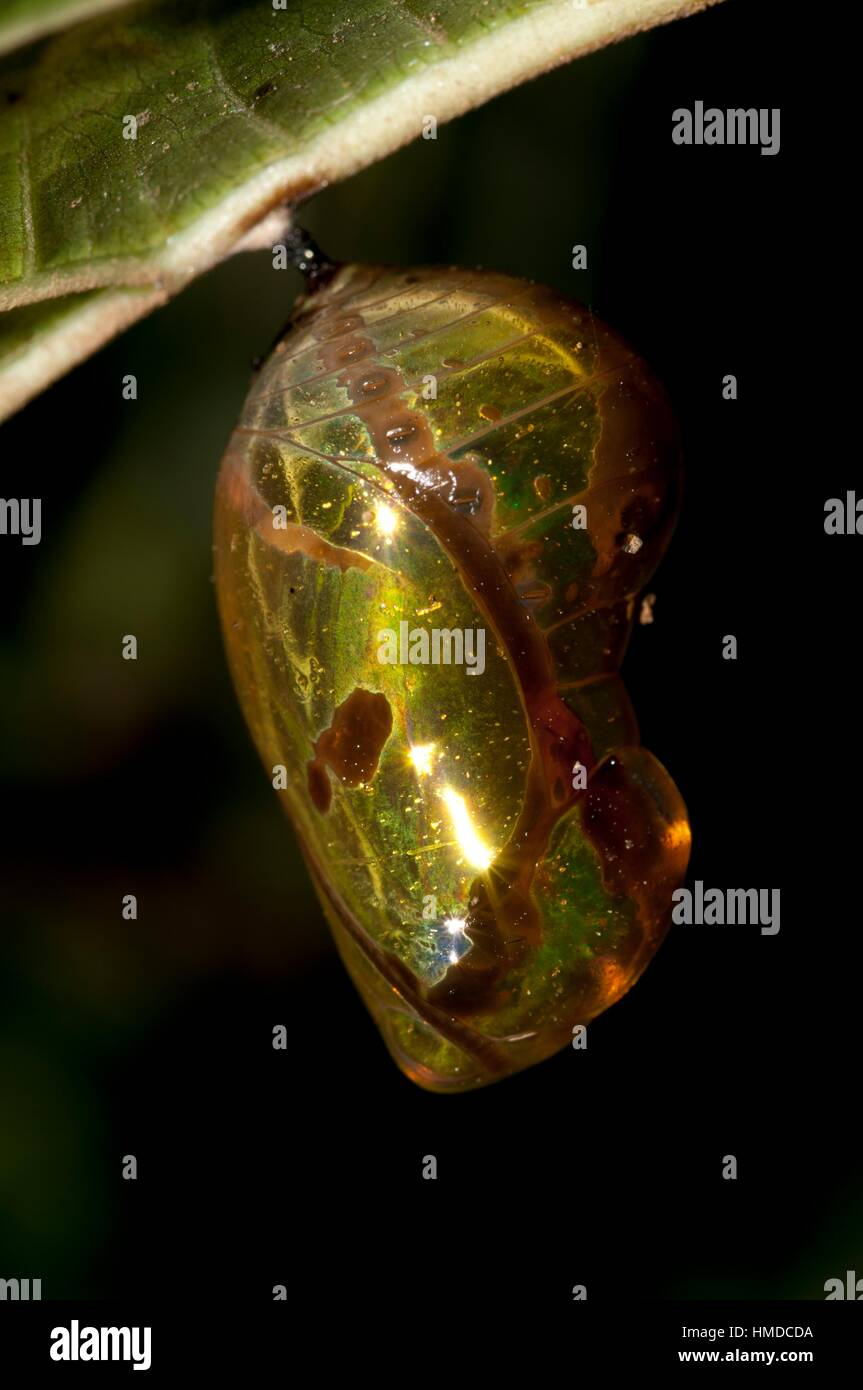Highly reflective Chrsyalis (Lepidoptera order) hanging from leaf, Klungkung, Bali, Indonesia. - Stock Image