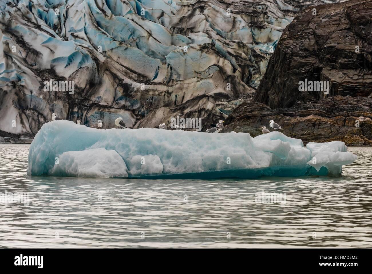 Glaucous-winged gulls on a piece of floating ice, Mendenhall Lake, Juneau, Alaska USA. - Stock Image