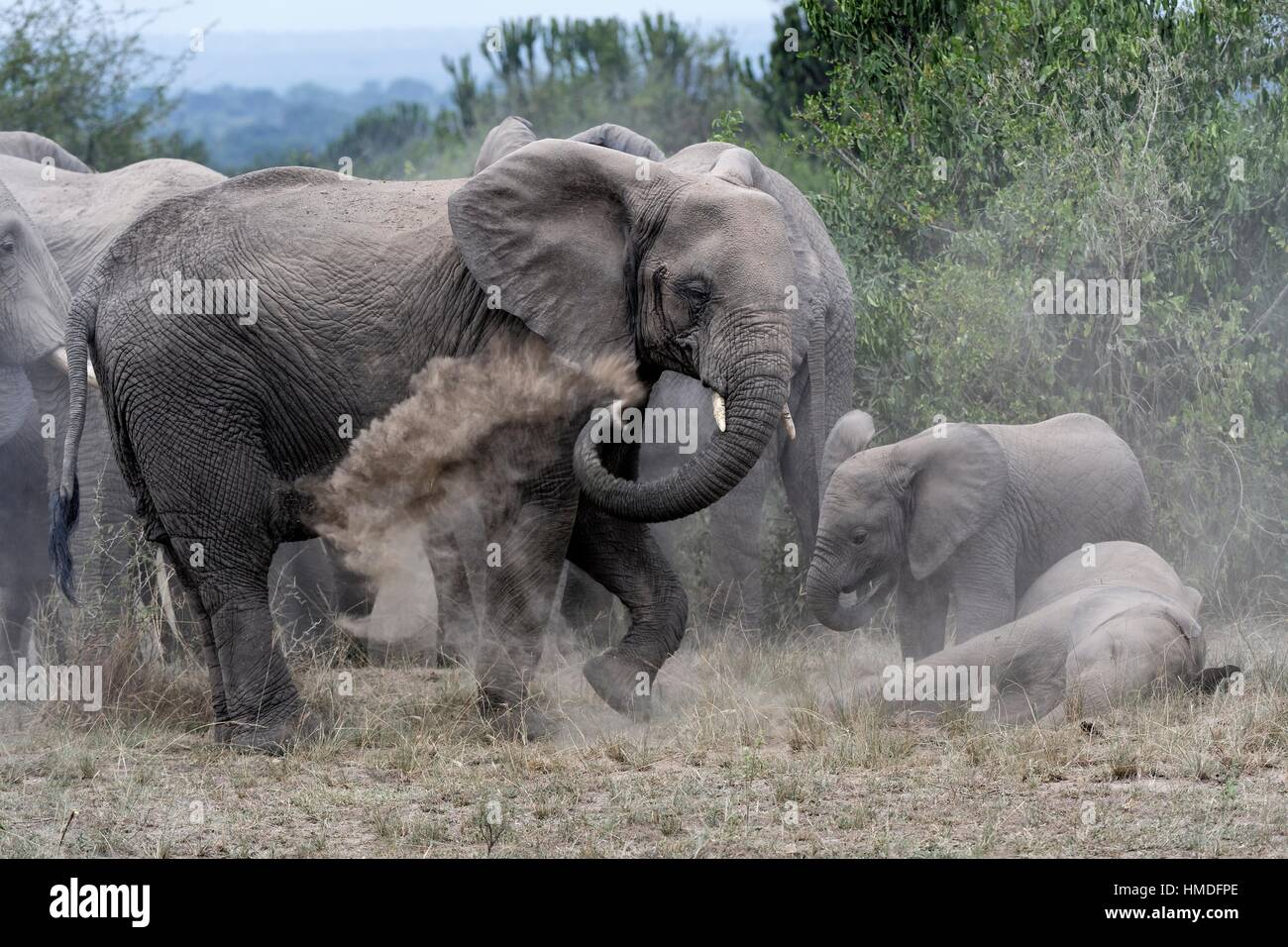 African elephant herd taking a dust bath (Loxodonta africana) Queen Elizabeth National Park, Uganda, Africa. - Stock Image