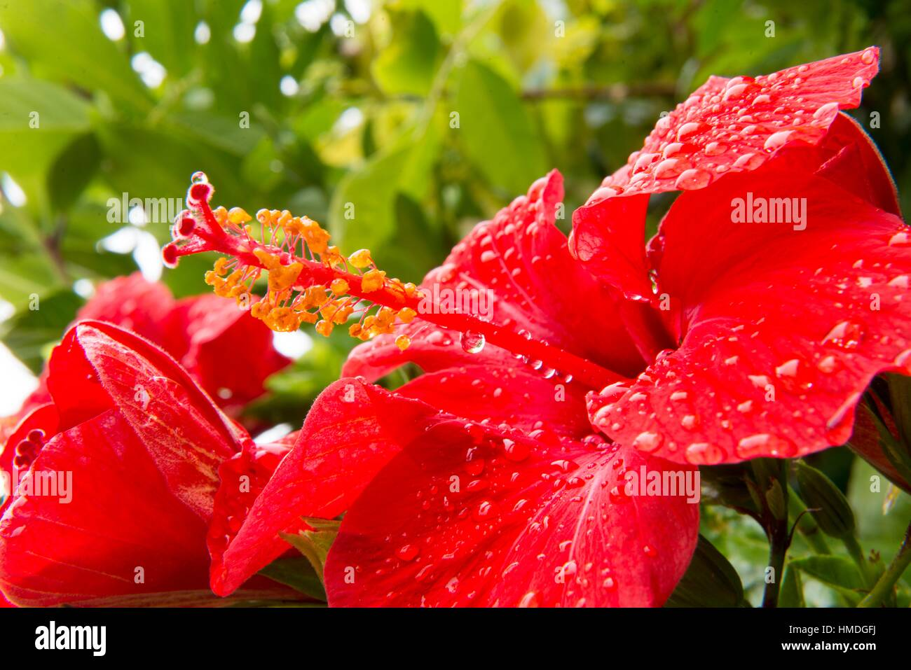 Red Hibiscus Flower Front View Stock Photos Red Hibiscus Flower