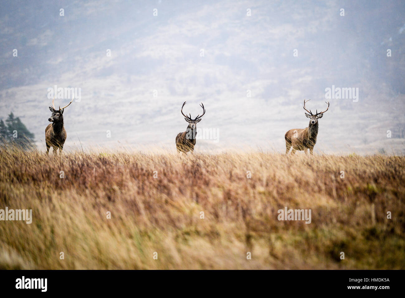 The monarch of the glen, three red deer stag's stands guard on a cold winters day in Glen Etive, Scotland. - Stock Image