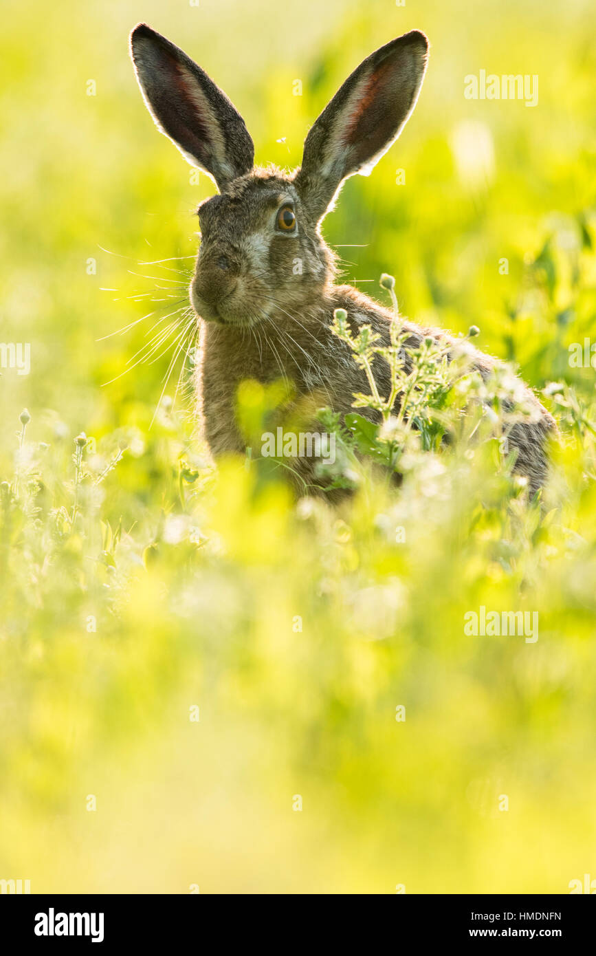 European hare (Lepus europaeus) sitting in field and pricking up its ears, Lower Austria, Austria - Stock Image