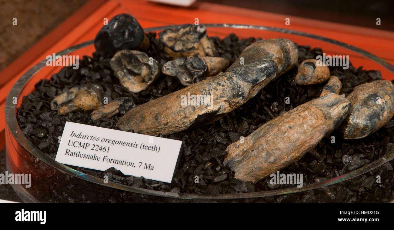 Fossil exhibit at Thomas Condon Paleontology Center, John Day Fossil Beds National Monument-Sheep Rock Unit, Oregon - Stock Image