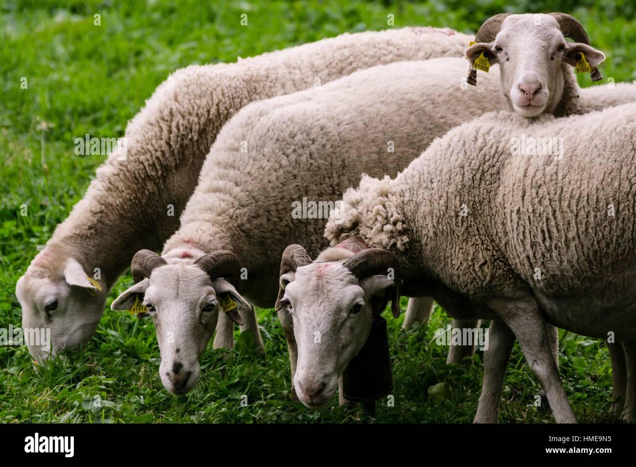 Spain, Pyrenees Mountains, Catalonia, Ribagorza region, Lleida province, Aran Valley, Bausen, Four Aranese sheep - Stock Image