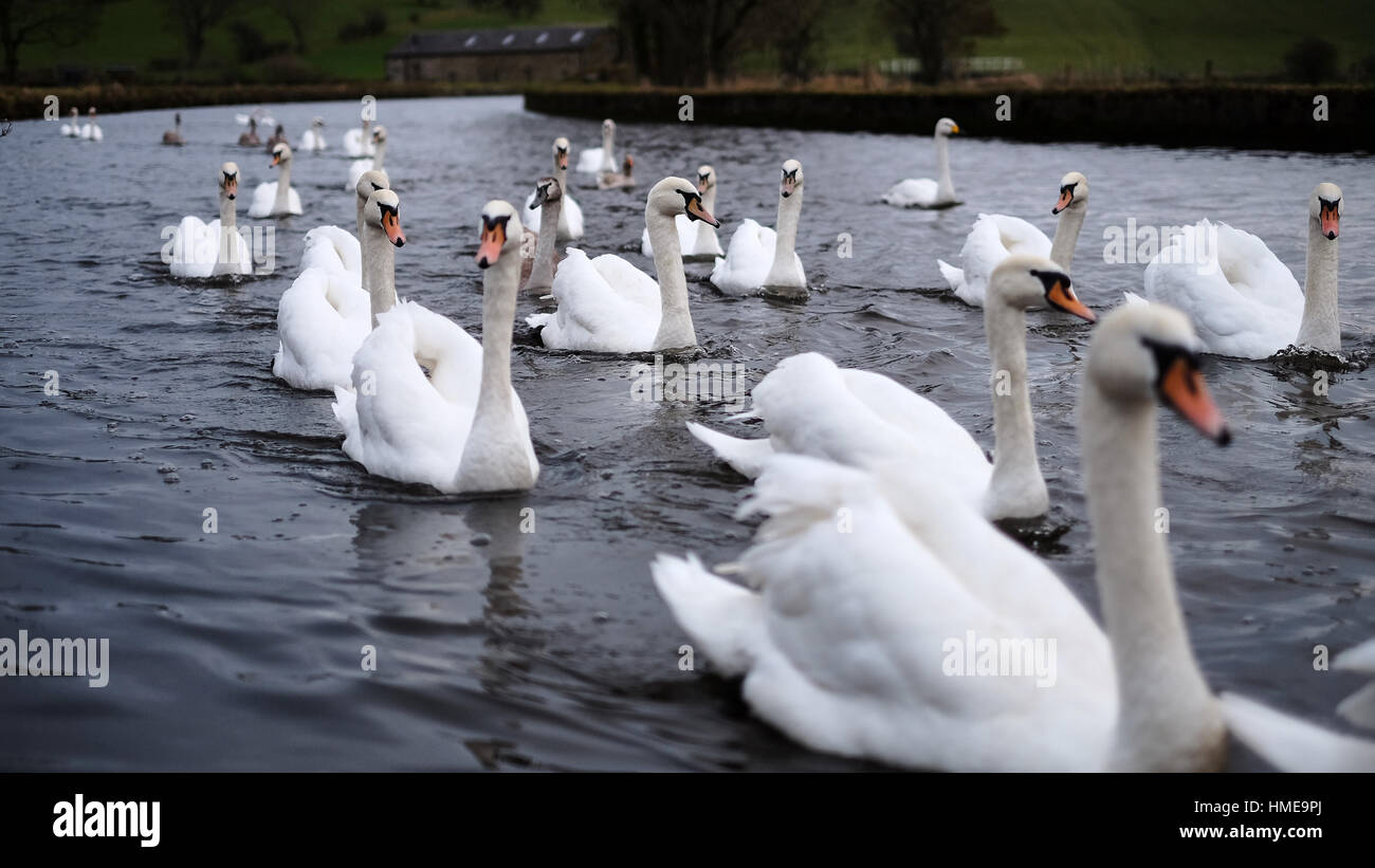 Large number of swans and cygnets on a canal on Yorkshire, U.K. - Stock Image