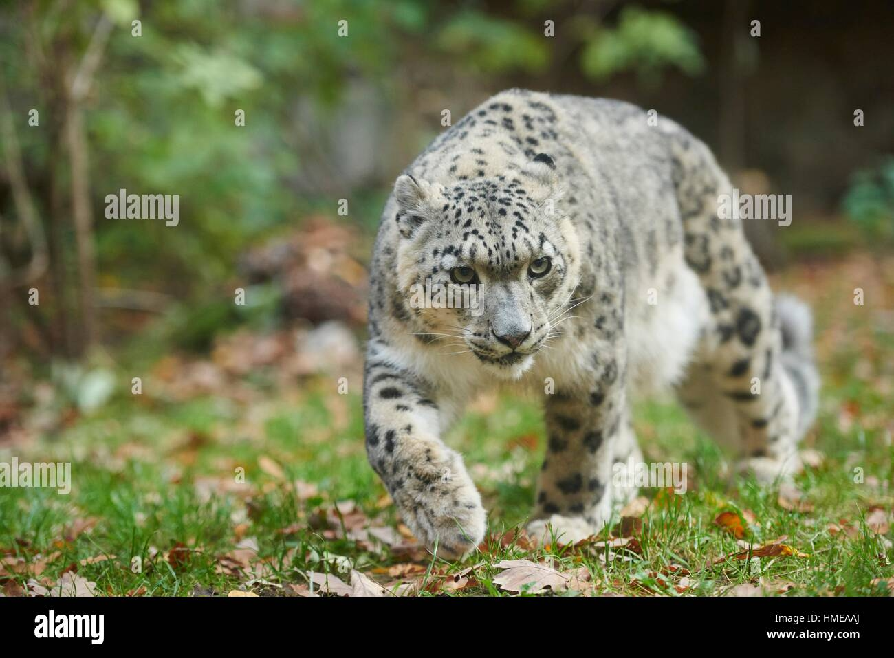 Snow leopard (Panthera uncia syn. Uncia uncia) in autumn. Captive. Germany. - Stock Image