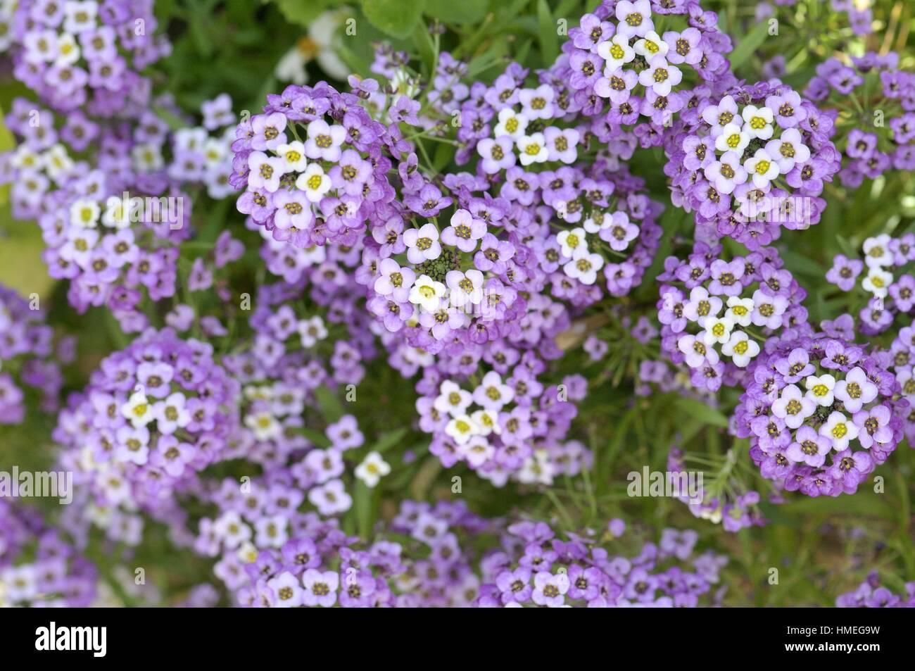 Garden Flowers Lantana Sp Genus Of Perennial Flowering Plants In