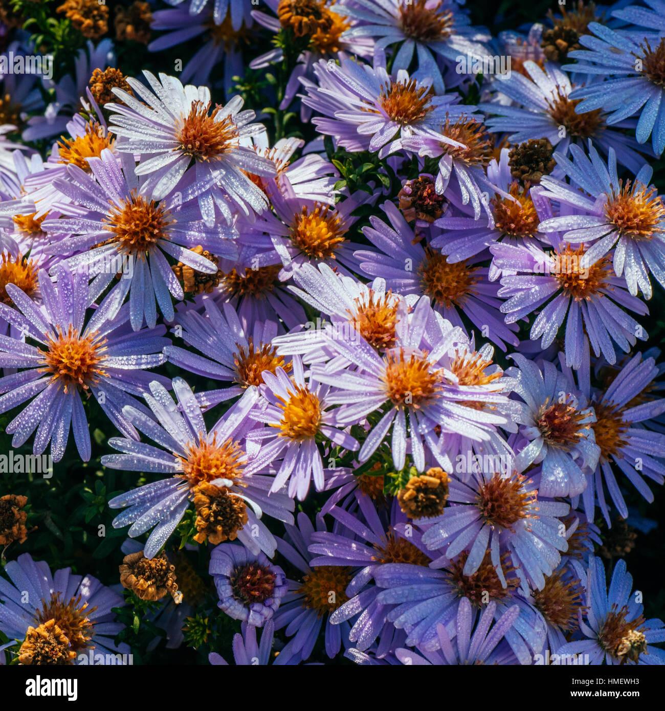 Magenta aster flowerbed under sunlight - Stock Image