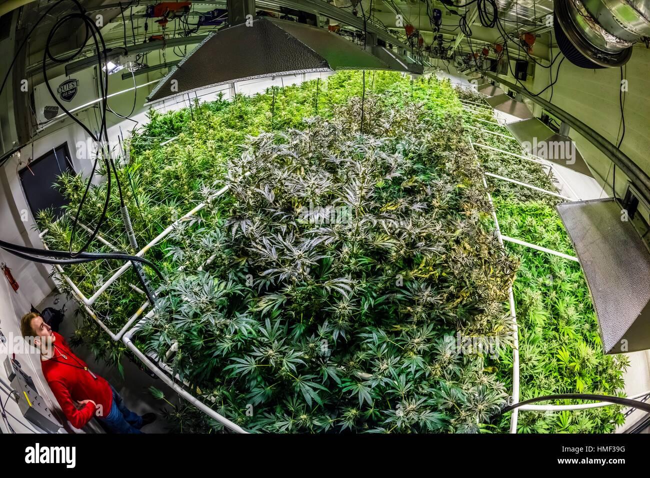 Grow room, Sticky Buds, Denver, Colorado USA. - Stock Image