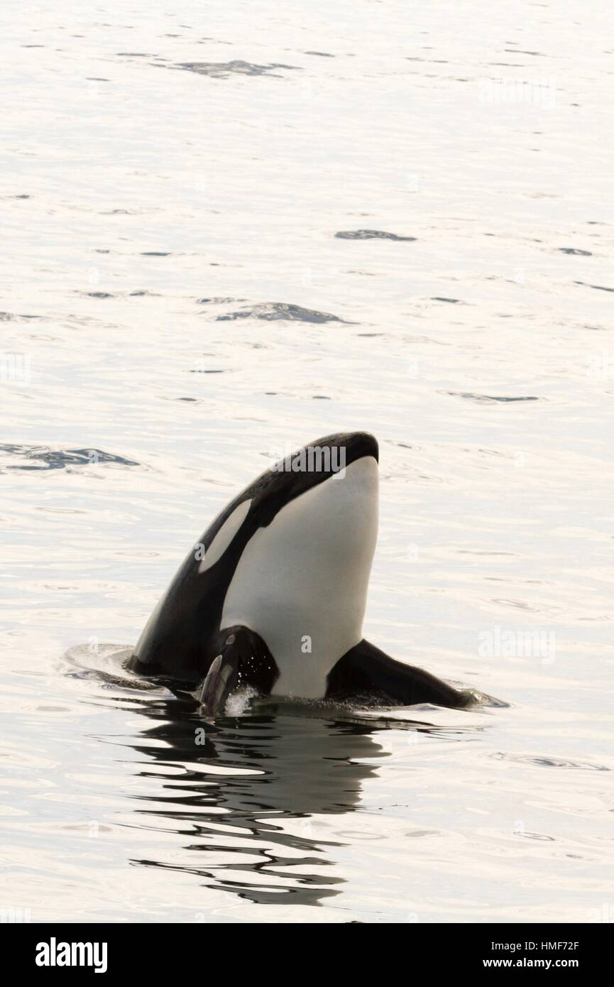 Transient Orca spy-hopping after killing a Pacific White Sided Dolphin on the Monterey Bay, California, USA. Stock Photo