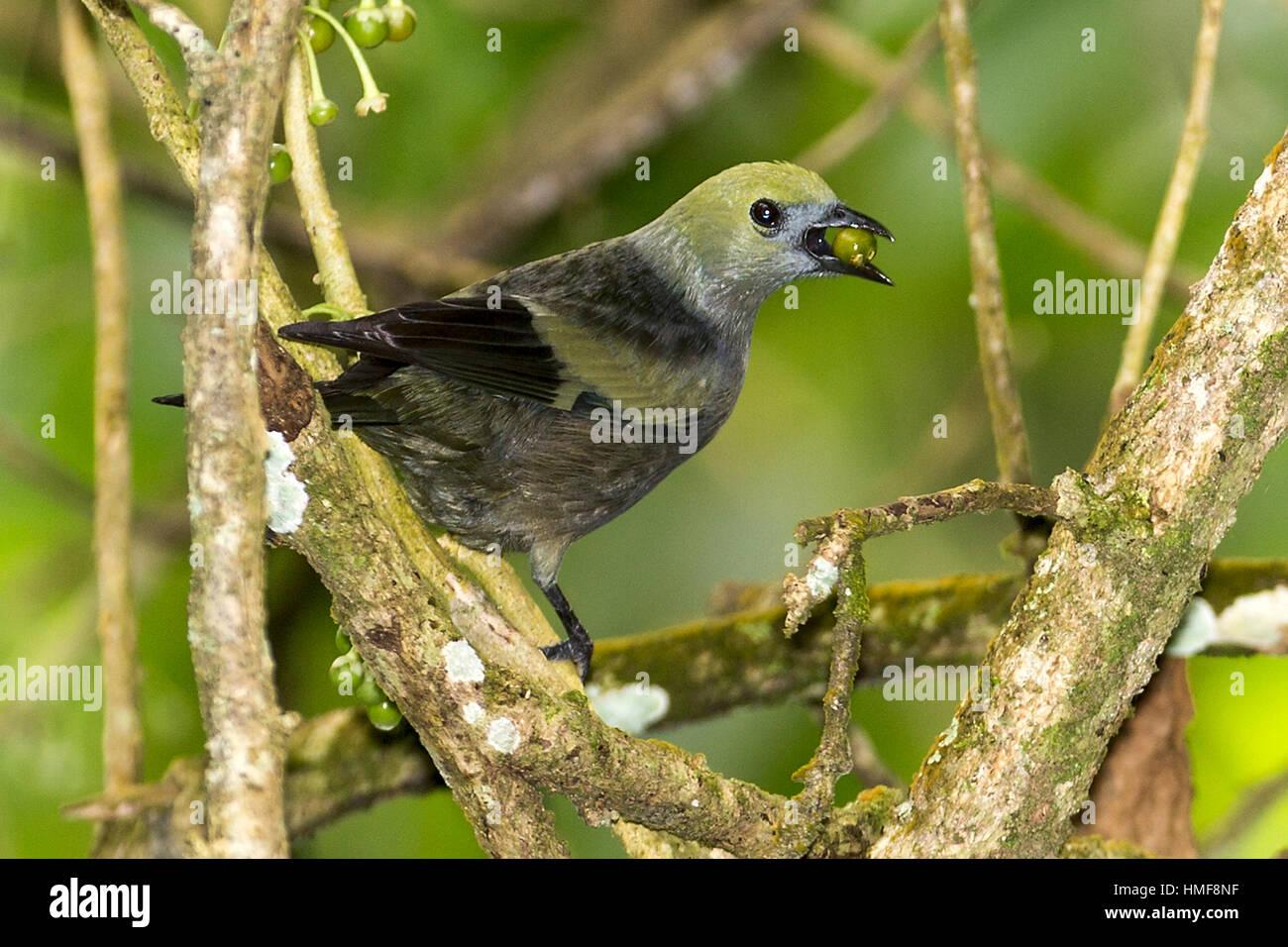 Palm tanager (Thraupis palmarum) is a medium-sized passerine bird with coffee bean Asa Wright Nature Reserve Trinidad - Stock Image
