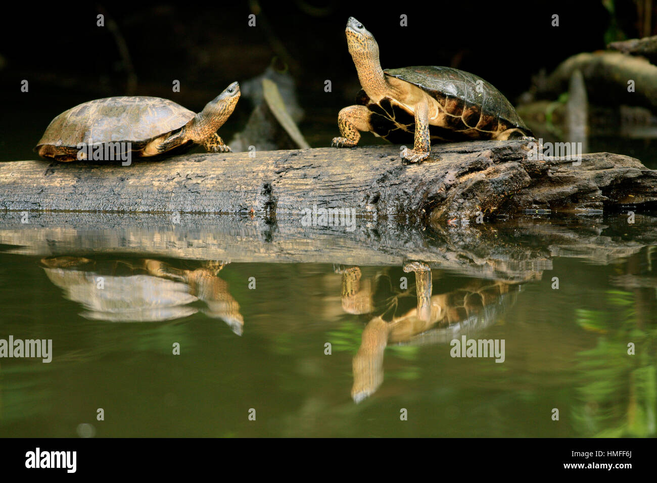 Black river turtles (Rhinoclemmys funerea) on natural rainforest canal. Tortuguero National Park, Costa Rica. - Stock Image