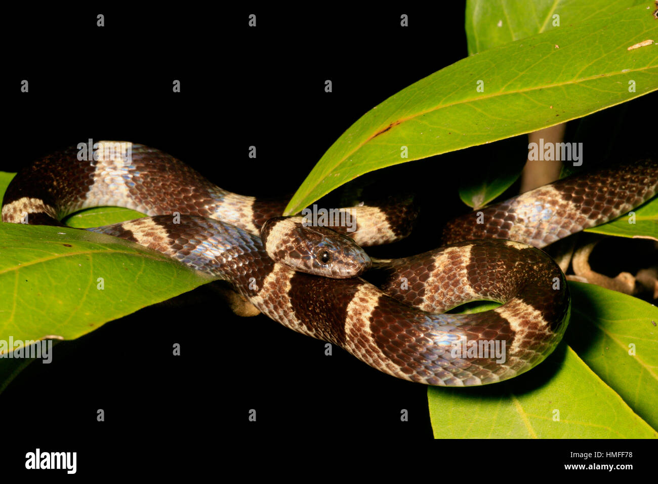 Black and White Cat-eyed Snake (Leptodeira nigrofasciata), Palo Verde National Park, Costa Rica - Stock Image