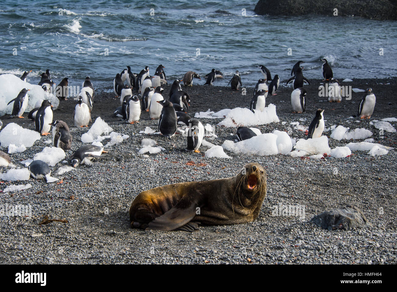 Antarctic fur sealin front of a colony of long-tailed gentoo penguins, Gourdin Island, Antarctica, Polar Regions - Stock Image