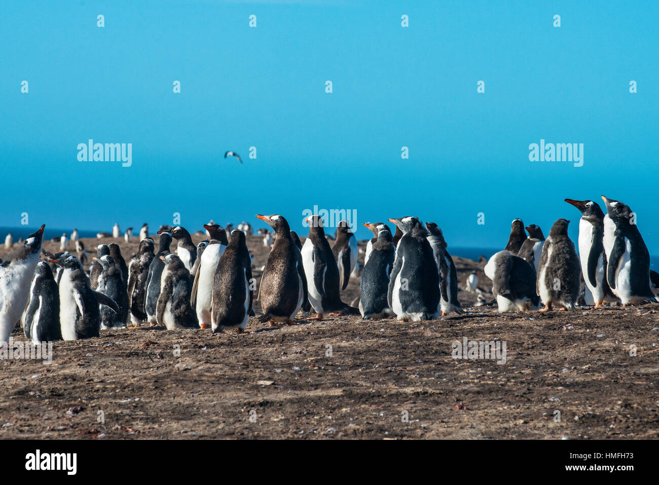 Long-tailed gentoo penguin colony (Pygoscelis papua), Saunders Island, Falklands, South America - Stock Image