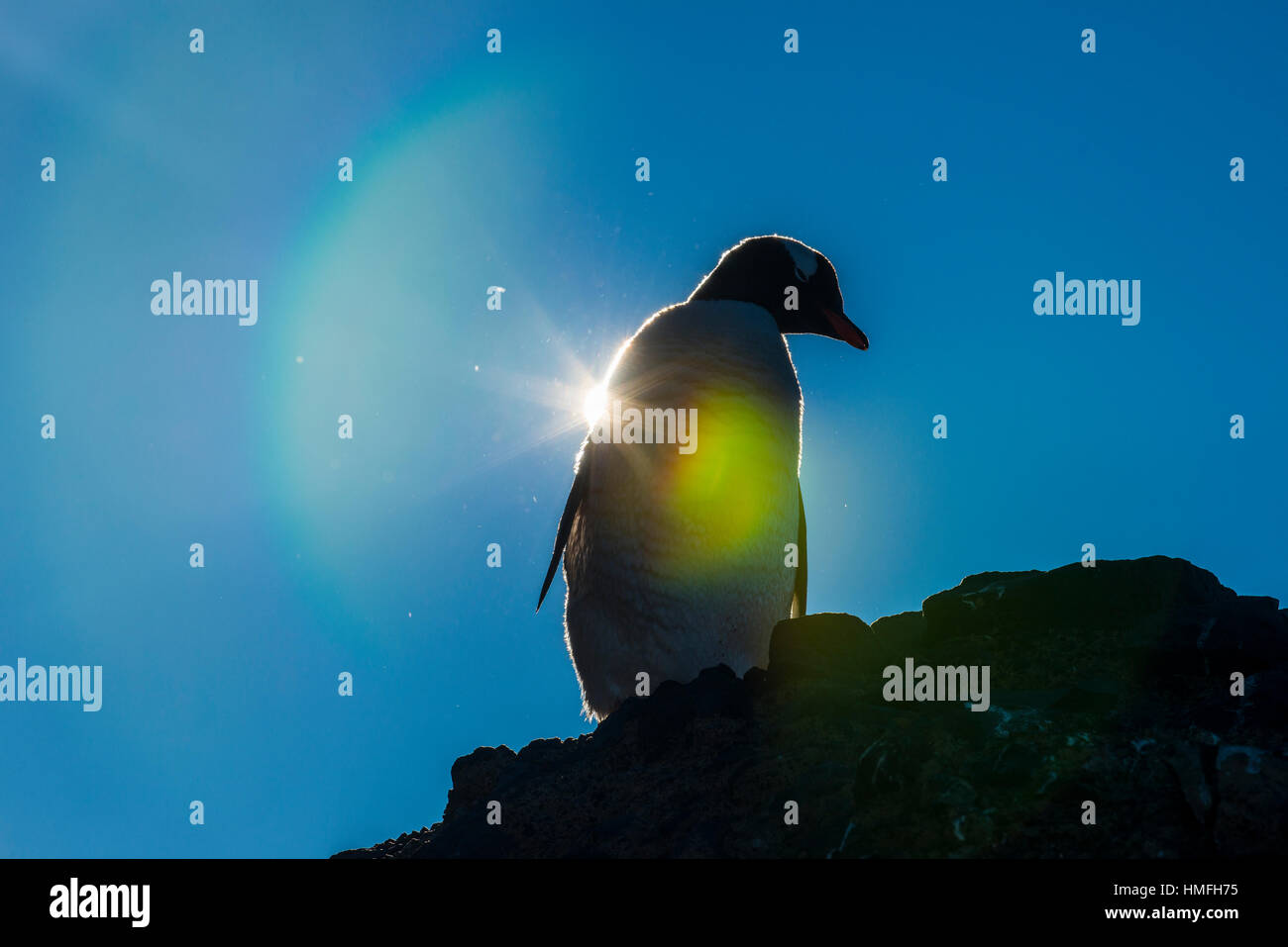 Gentoo penguin (Pygoscelis papua) in backlight, Brown Bluff, Antarctica, Polar Regions - Stock Image