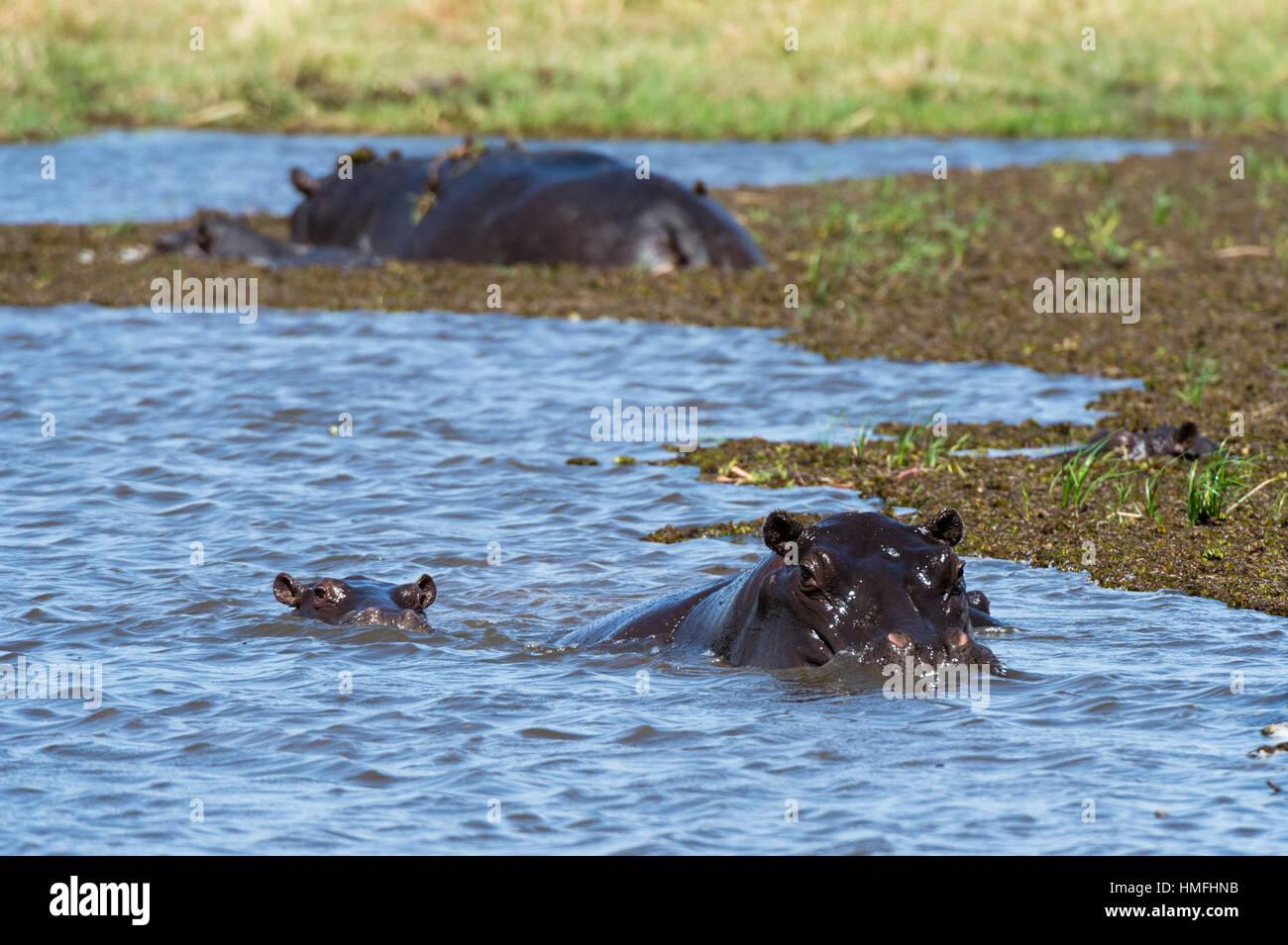 Hippopotamus (Hippopotamus amphibius) in the River Khwai, Khwai Concession, Okavango Delta, Botswana Stock Photo