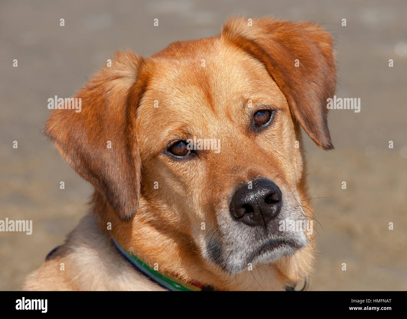 Handsome mixed breed red brown dog with soulful eyes looking at camera with headtilt neutral background close up - Stock Image