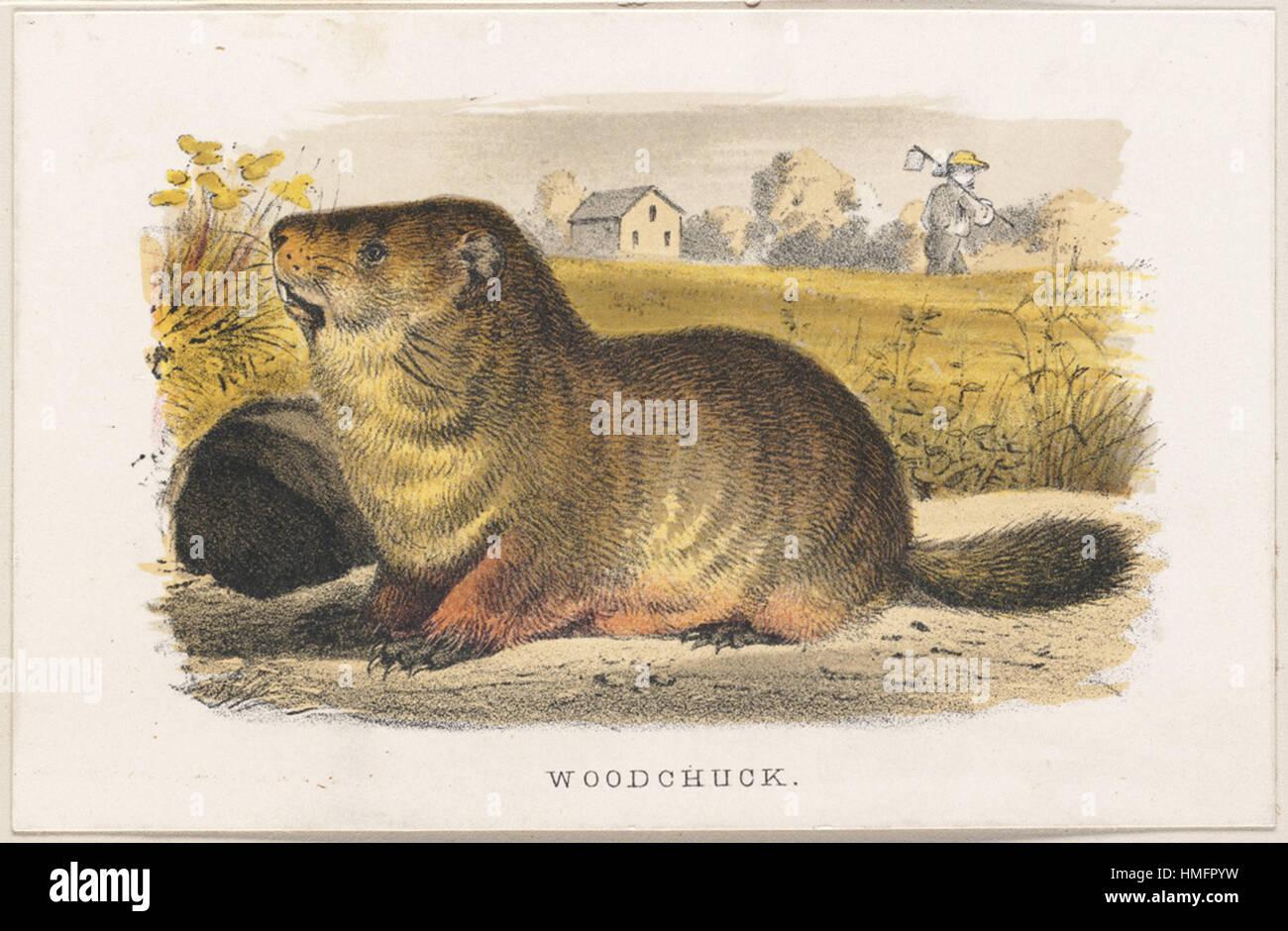 Louis Prang -  Woodchuck - Stock Image