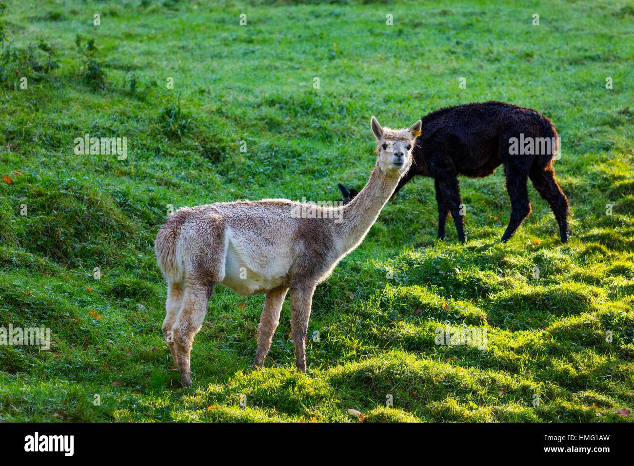ALPACA (Vicugna pacos). Domesticated species of South American camelid. - Stock Image