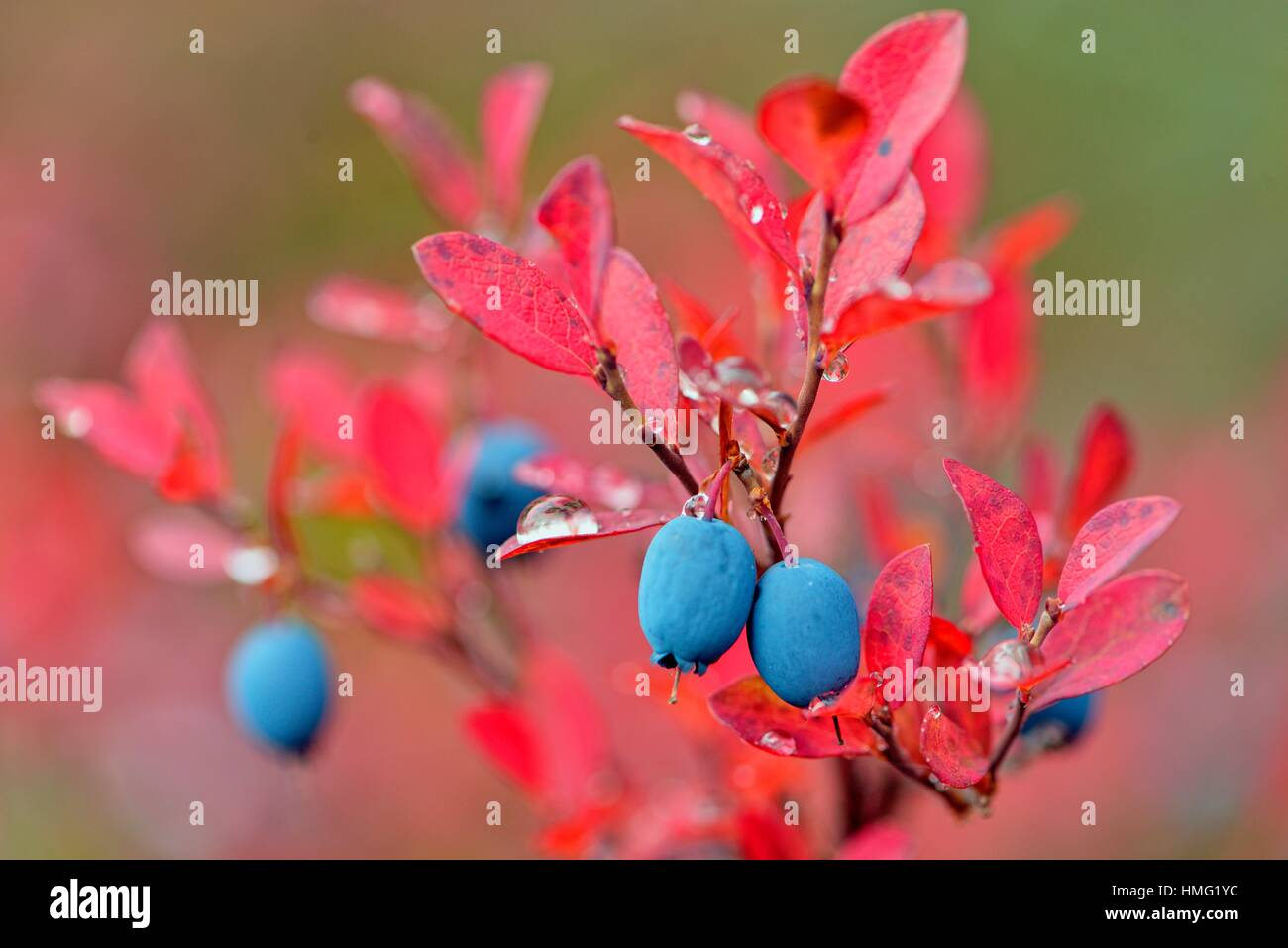 Barrenground vegetation in autumn- arctic lowbush blueberry (Vaccinium uliginosum), Arctic Haven Lodge, Ennadai - Stock Image