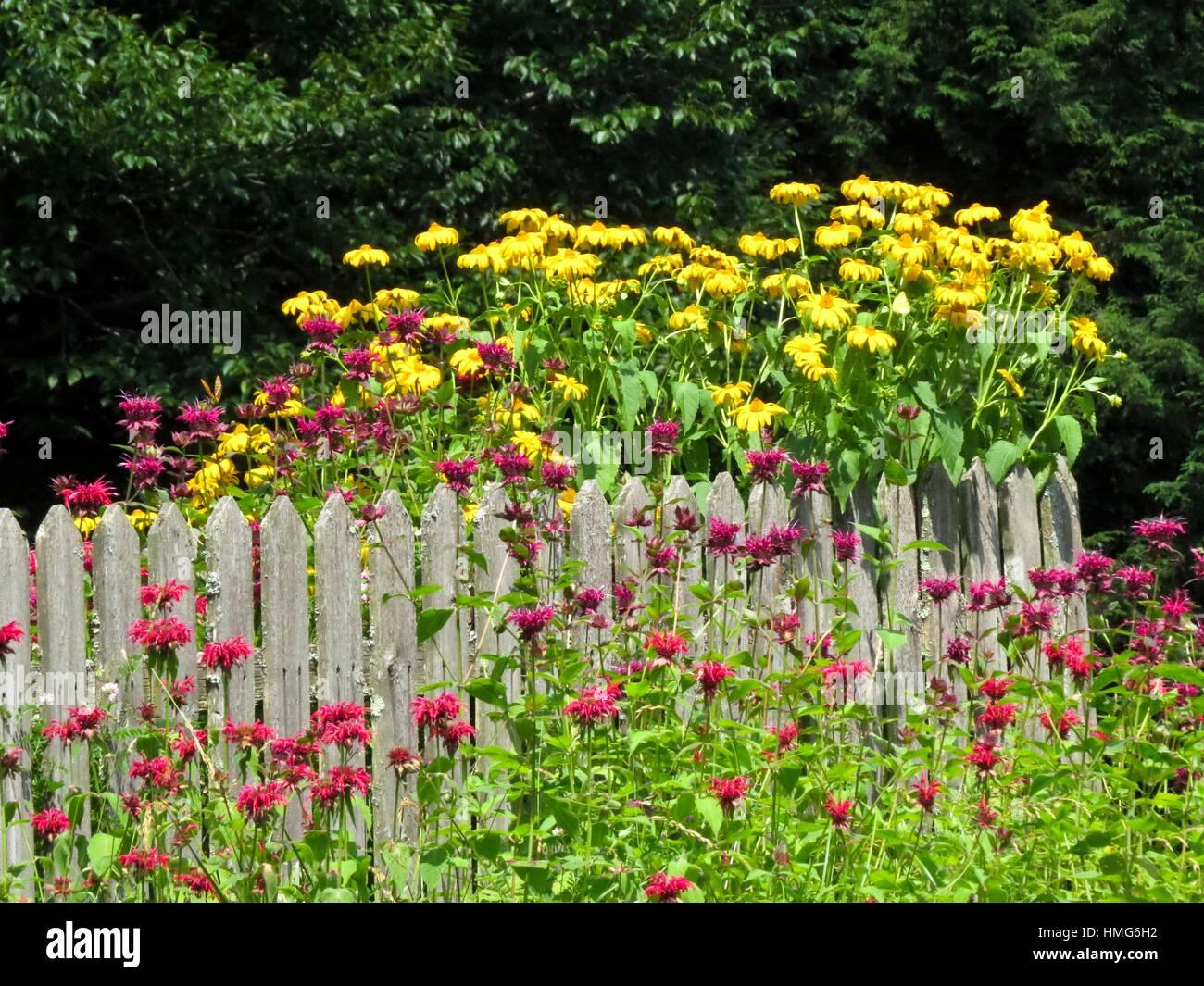 yellow coneflower and bee balm - Stock Image