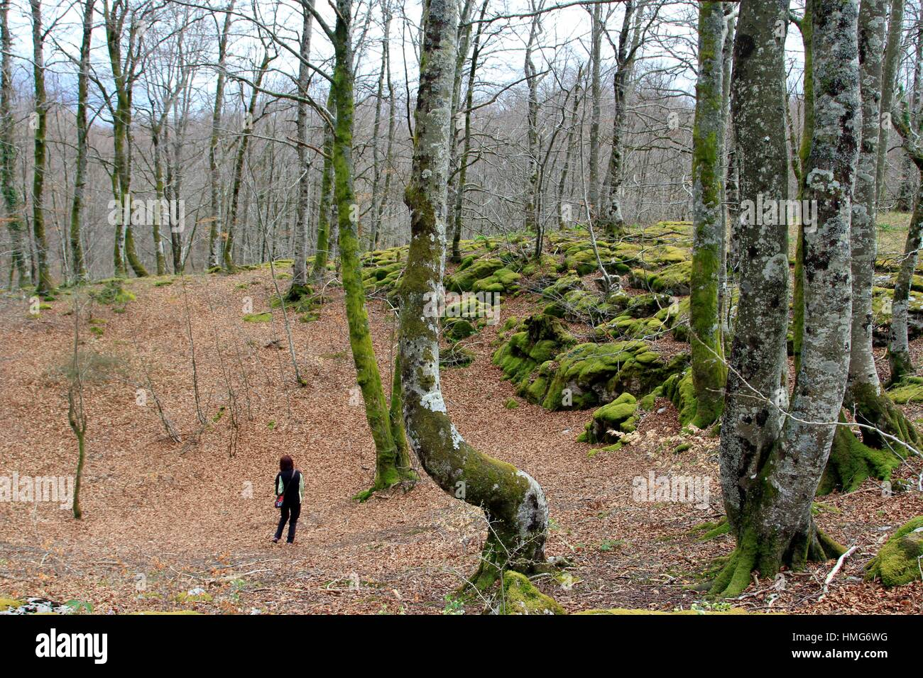 diverse kind of beech trees in the forest (Santiago). - Stock Image