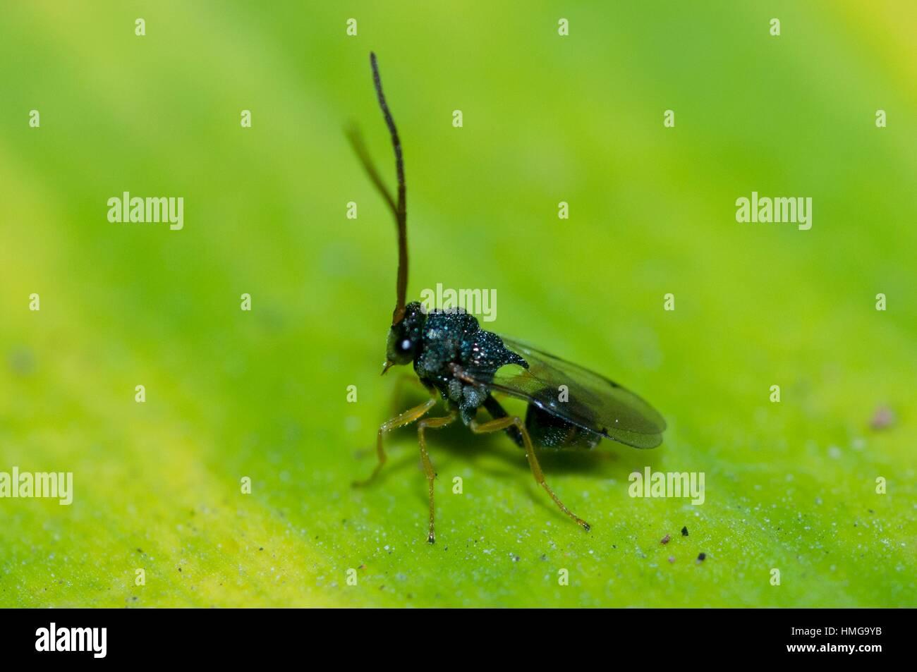 Eucharatid (parasitic) Wasp (Hymenoptera order, Eucharitidae family), Klungkung, Bali, Indonesia. - Stock Image