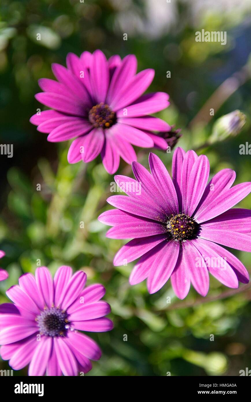 maroon daisies flowers close up shot,location porqueres,girona,catalonia,spain,europe,. - Stock Image