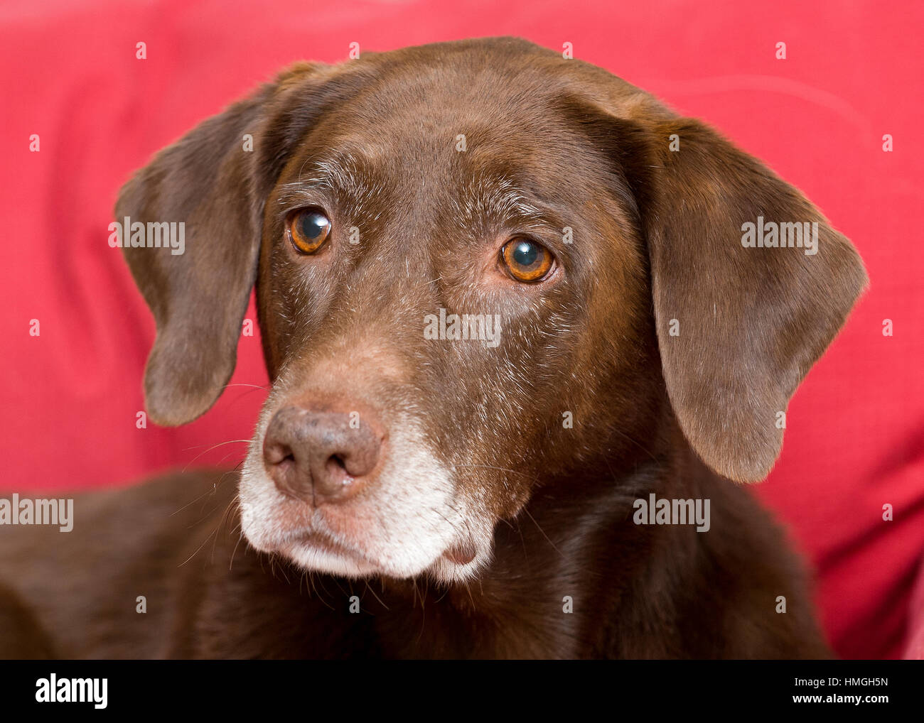 Beautiful Senior Chocolate Lab With Grey Muzzle Close Up Portrait