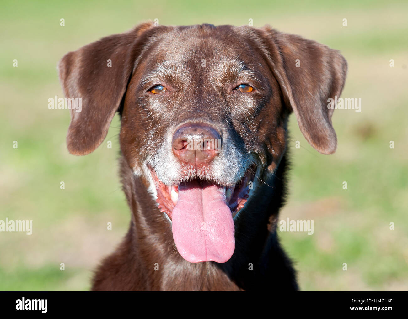 Beautiful Happy Chocolate Lab Dog Close Up Looking At Camera