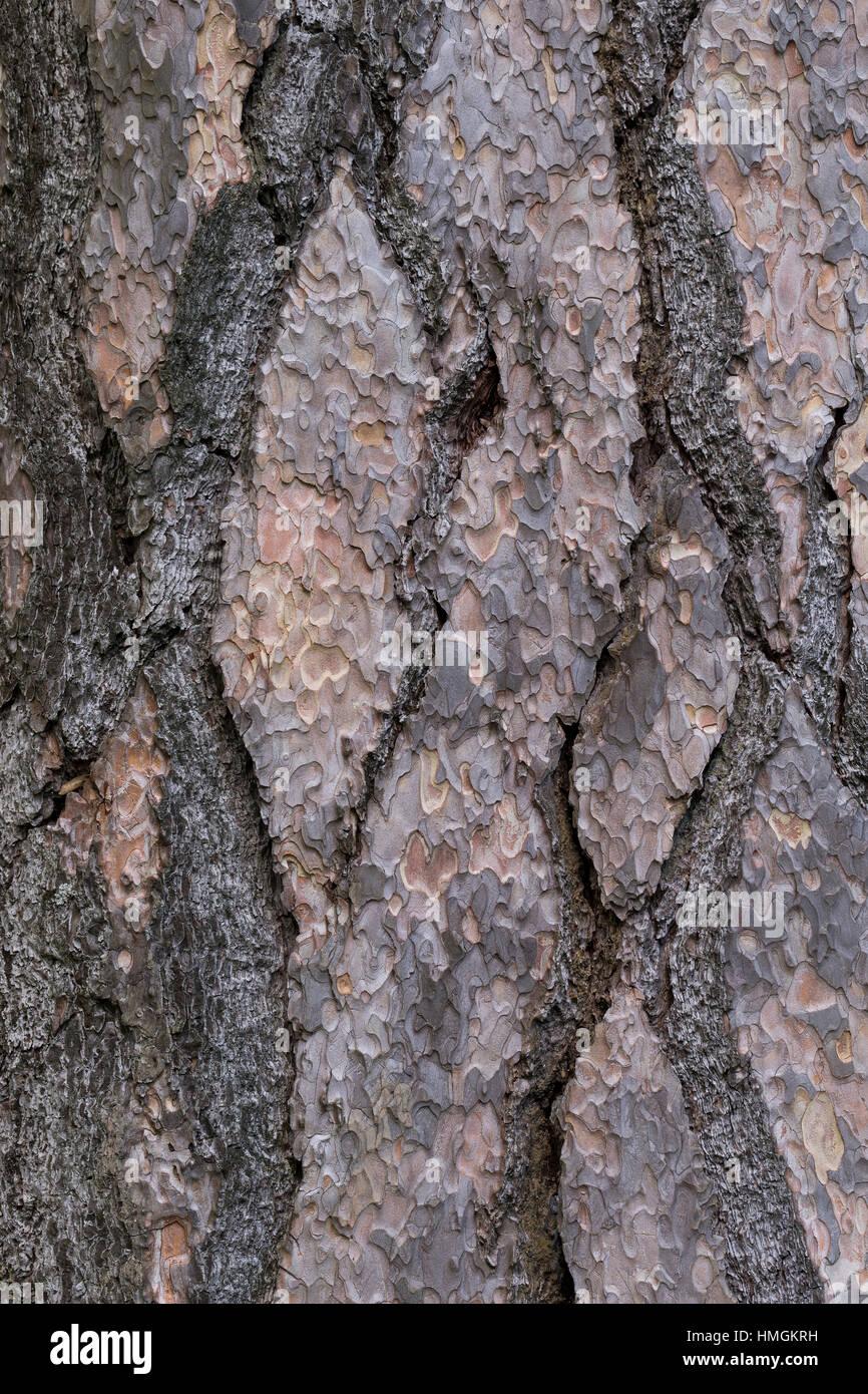 Schwarz-Kiefer, Schwarzkiefer, Kiefer, Rinde, Borke, Stamm, Pinus nigra, Pinus austriaca, Black Pine, bark, rind - Stock Image